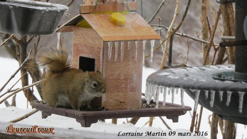 Écureuil roux petit malcommode  Ycureu11