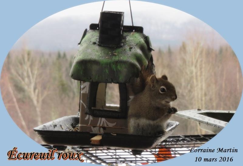 Écureuil roux petit malcommode  Ycureu12