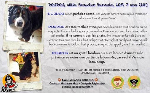 grande Urgence pour DOUDOU Bouvier Bernois male 12745710