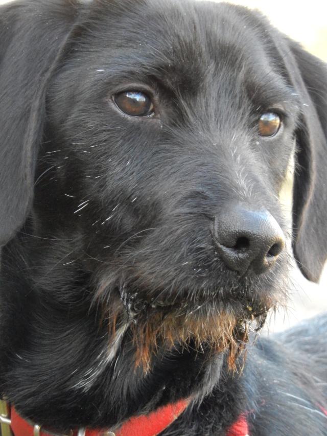 BOLIDE (chien croisé teckel/griffon) 3_dscn10