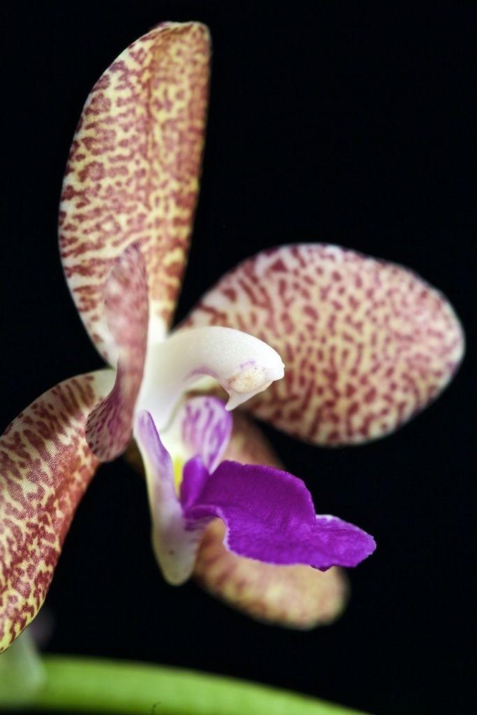 Vandopsis parishii x sedirea japonica Img_0120