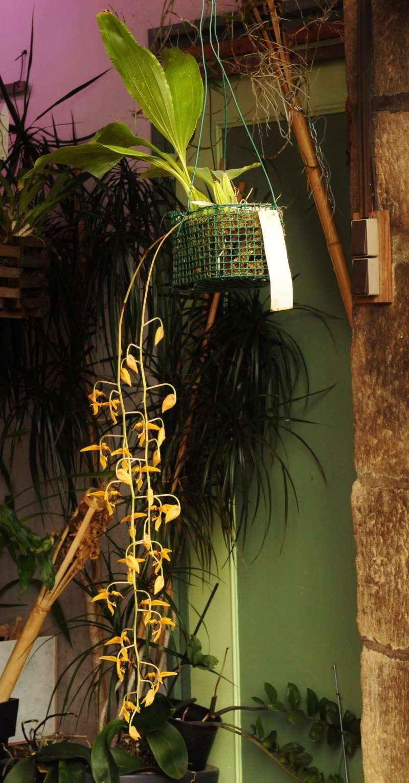 Gongora gratulabunda pecosa 2016-022