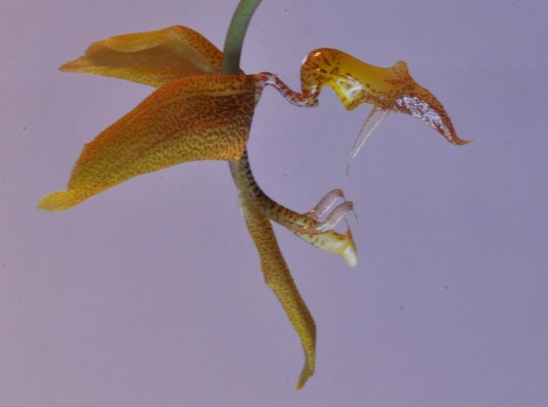 Gongora gratulabunda pecosa 2016-024