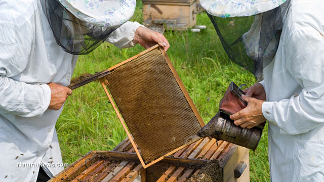 HONEYBEE POPULATIONS ARE COLLAPSING SO RAPIDLY THAT BEE HIVE THEFTS ARE NOW ON THE RISE Beekee10