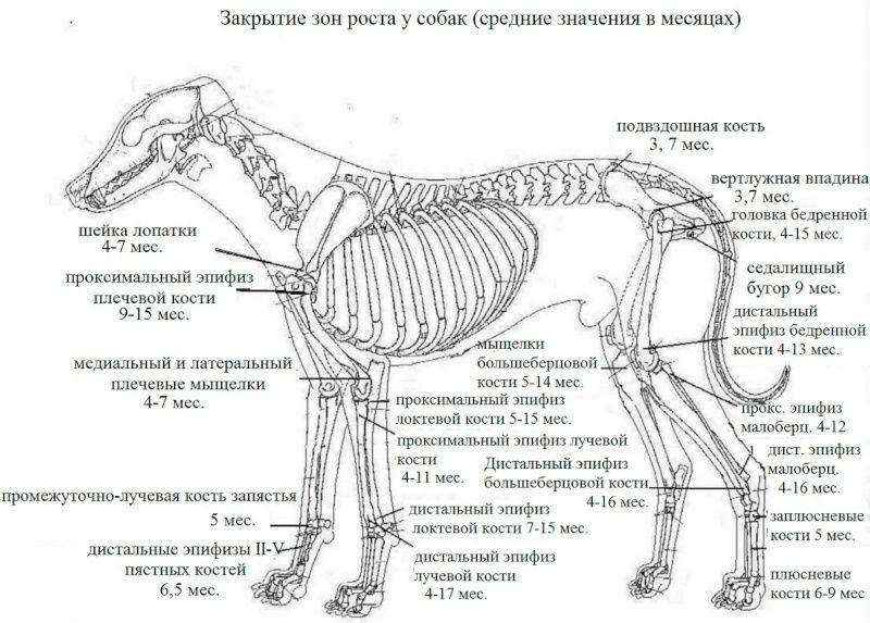 Дисплазия суставов у собак Yzaa-a10