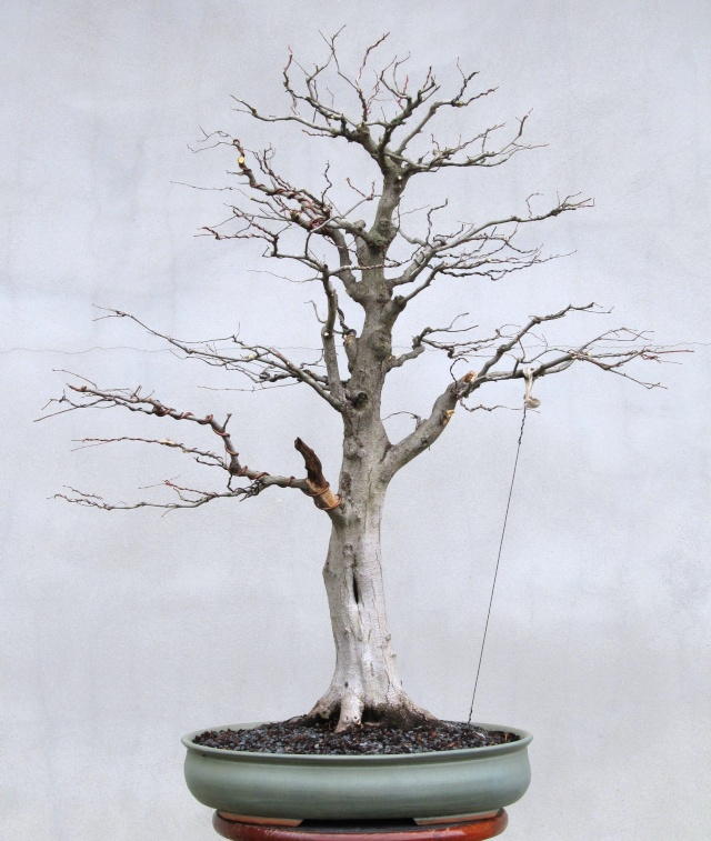 American Bonsai at the NC Arboretum - Page 39 Melvin11