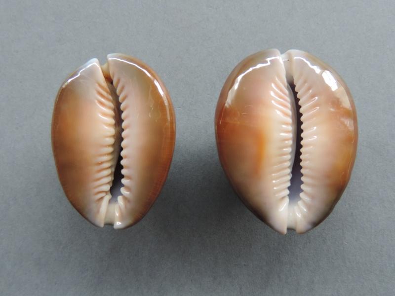 Monetaria caputserpentis caputserpentis - (Linnaeus, 1758) - Page 2 Dscn7746