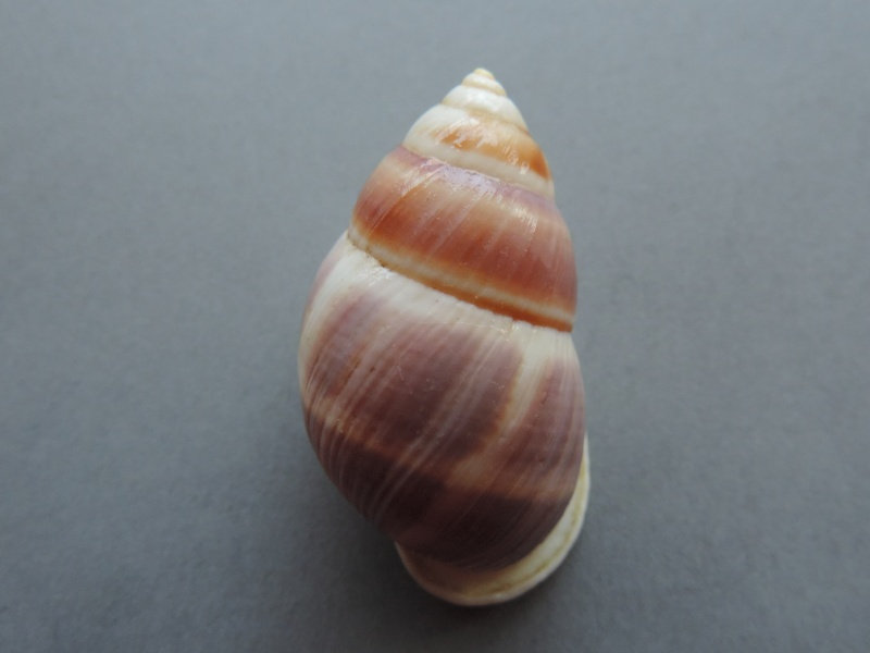 Amphidromus poecilus (Van Benthem Jutting, 1941) Dscn7750