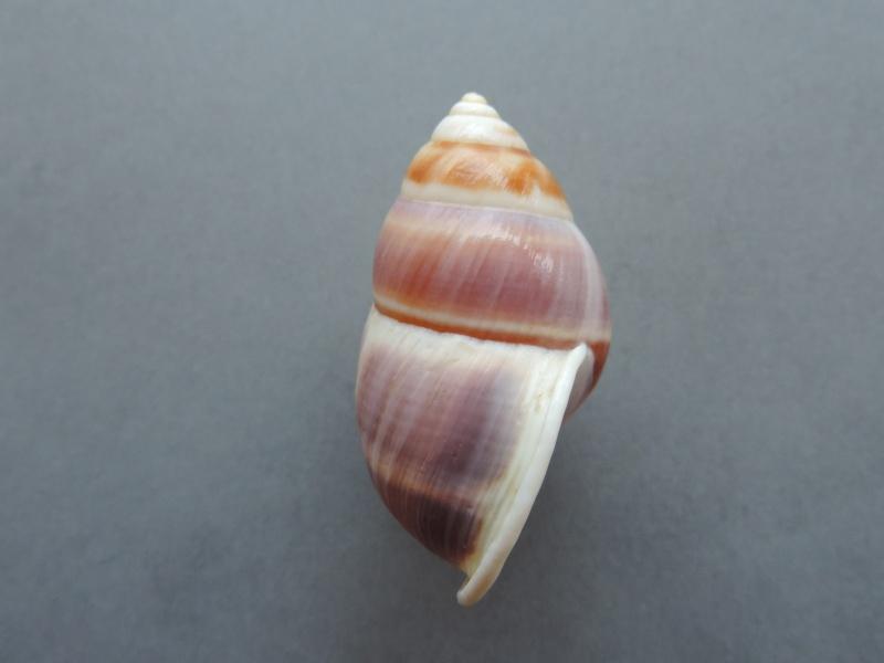 Amphidromus poecilus (Van Benthem Jutting, 1941) Dscn7752