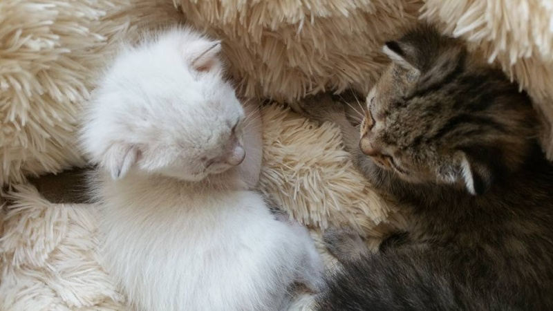 Mouna, femelle type européenne blanche/crème née 03/03/2016 6566_110