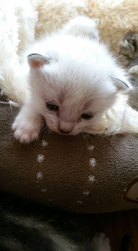 Mouna, femelle type européenne blanche/crème née 03/03/2016 94709610