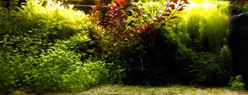 180L -  Le royaume vert des Aphyocharax Aquari10