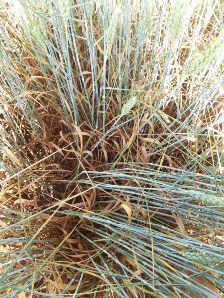 suivi blé 2021 - Page 4 20210625