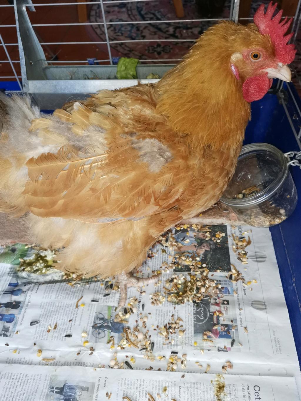 poule rousse malade - Page 3 La_pou10
