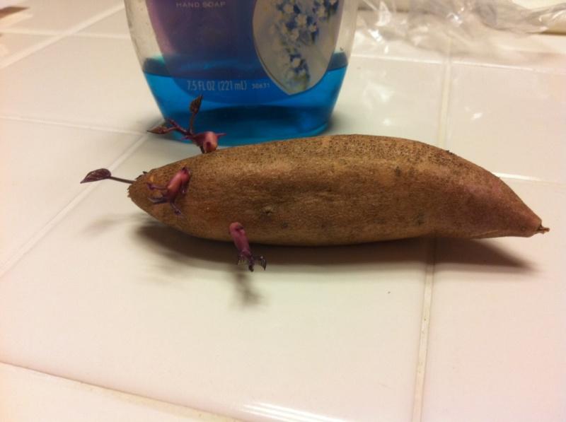 Sweet Potatoes - Page 2 Sweet_10