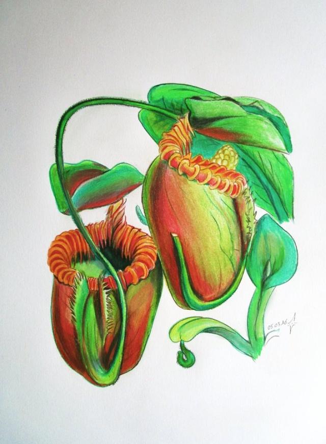 Le Népentharium lowland de Kiwano - Page 21 Villos10