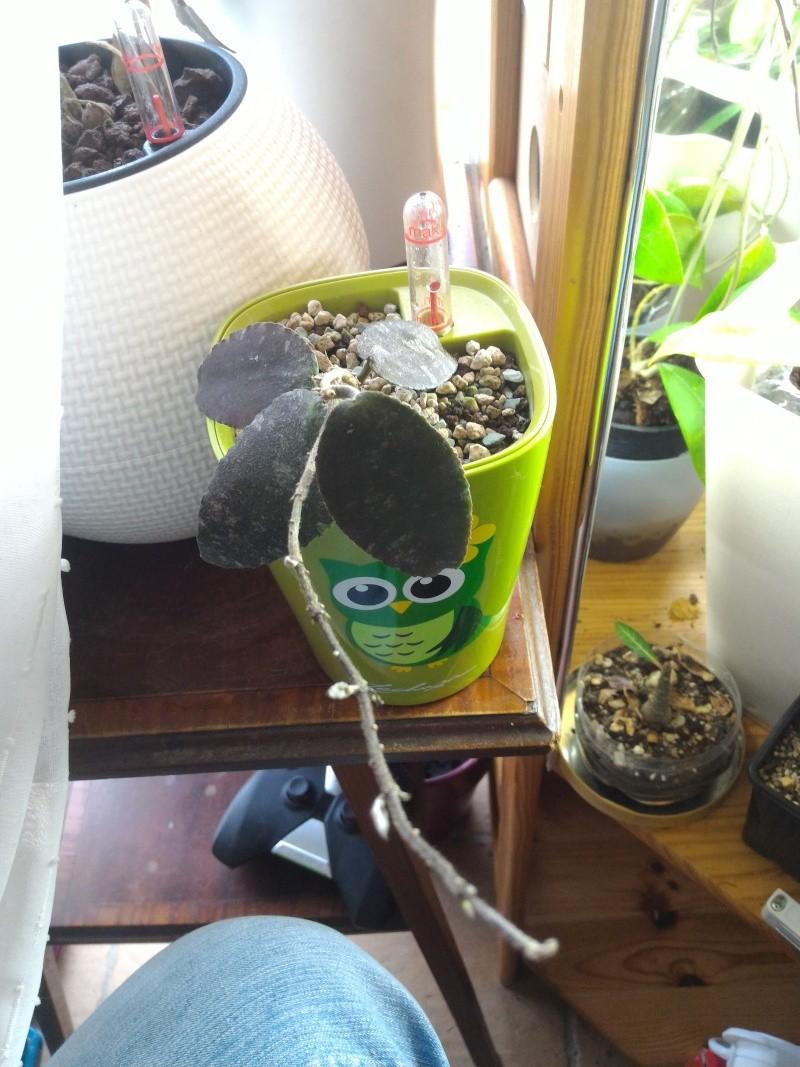 Hoya caudata Caudat11
