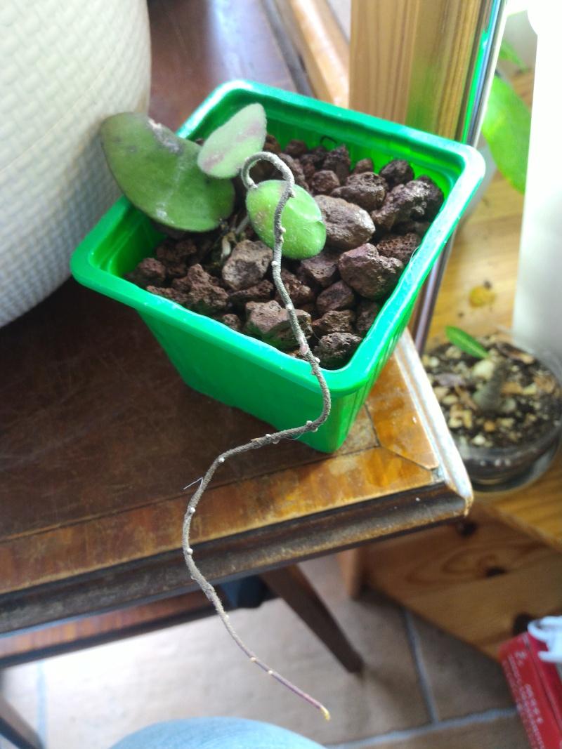 Hoya flagellata Flagel11