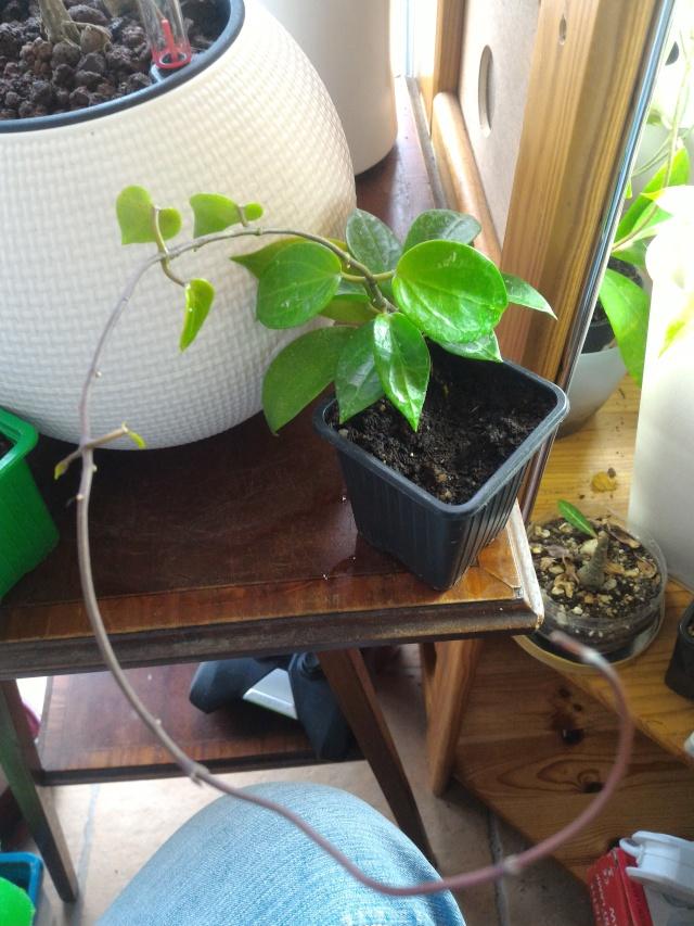 Hoya limoniaca Limoni10