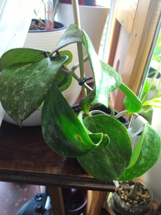 Hoya macrophylla Macrop11