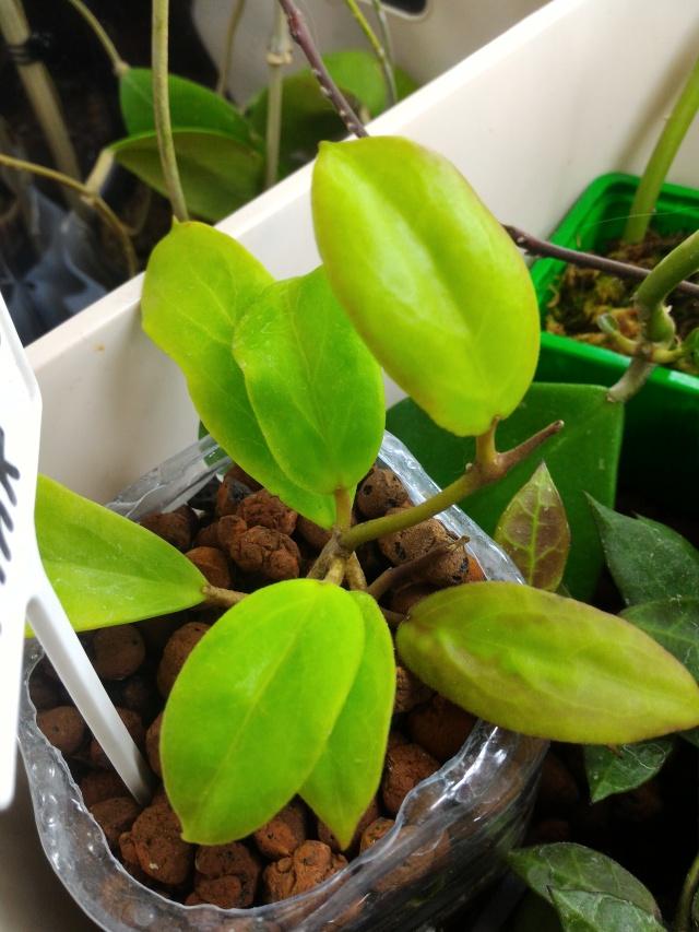 Hoya elmeri (= H. mindorensis ssp. superba) Mindo_11