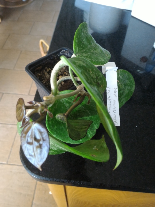 Hoya macrophylla P_201612