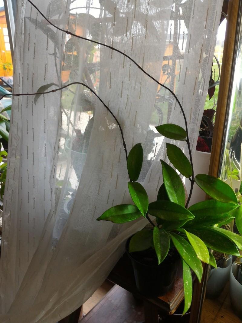 Hoya pubicalyx - Page 4 Pubi_p10