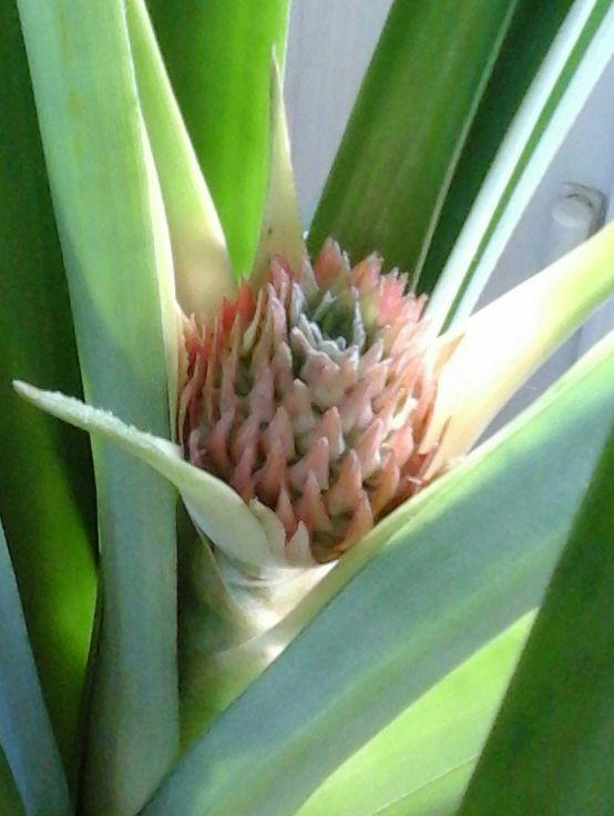 la culture de l'ananas - Page 2 Ananas11