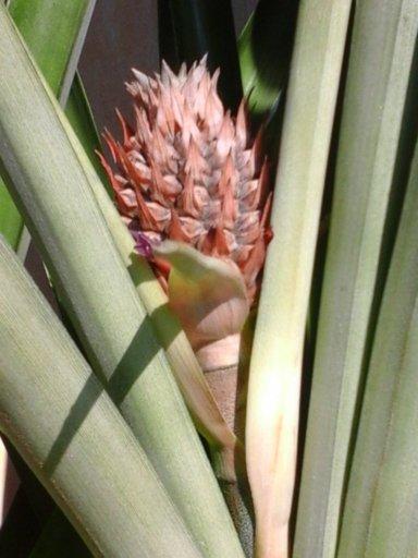 la culture de l'ananas - Page 2 Ananas15
