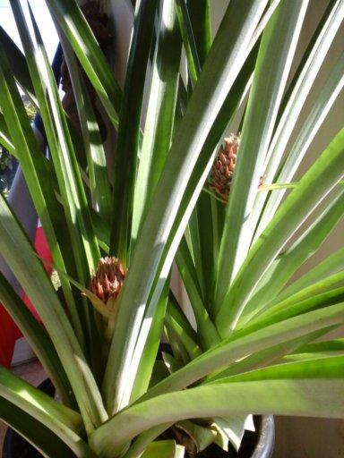 la culture de l'ananas - Page 3 Ananas16