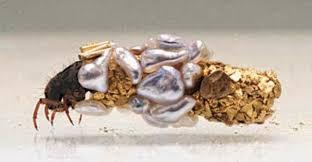nymphe - Nymphe de larve de trichoptère: Porte bois  - Page 3 Porte_10