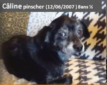 CALINE, petite puce croisée Pinscher de 8 ans 1/2 Phot110