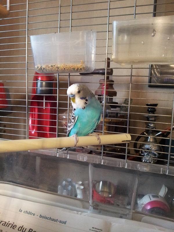 Photos de perruches ondulées 20160316