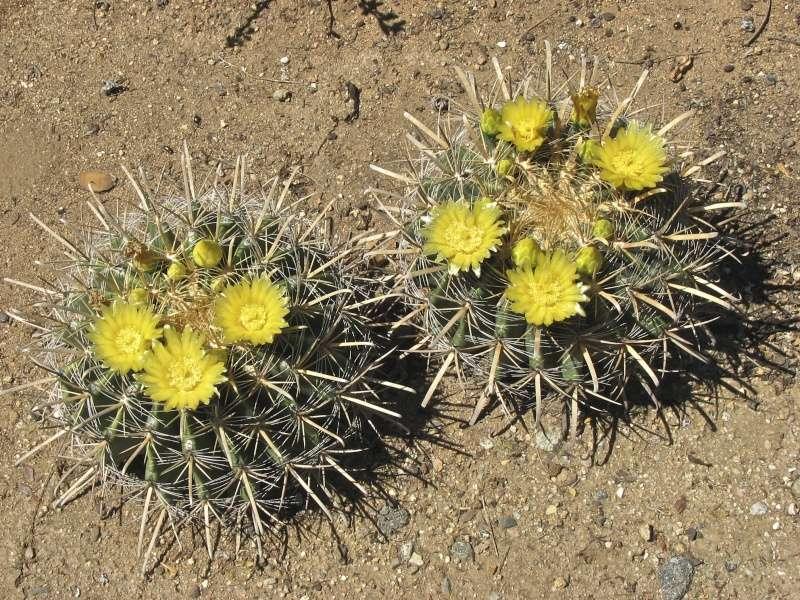 Ferocactus wislizeni Img_0611