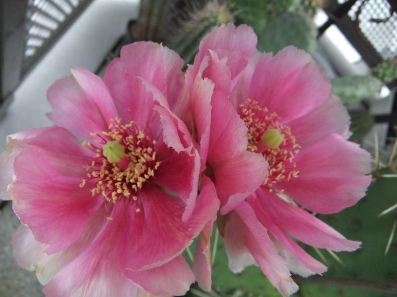 Meine Kakteenblüten 01910