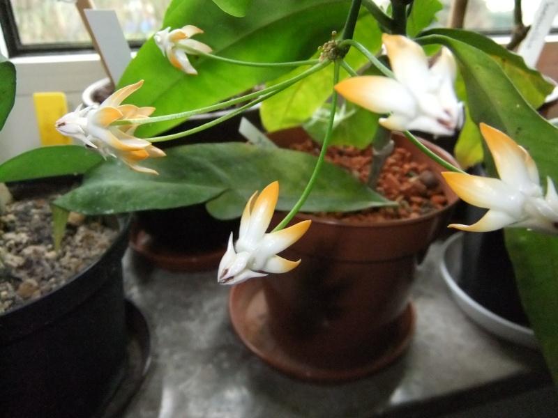 Hoya multiflora 02110