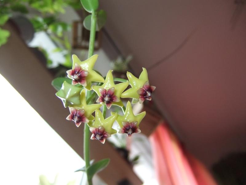 Hoya cummingiana (Beitrag von Silv) 02612