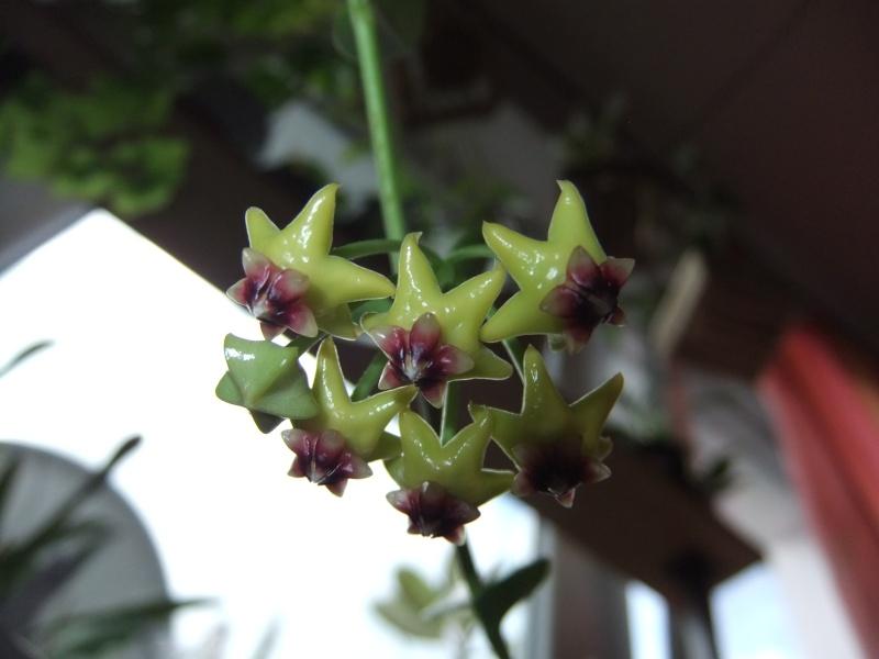 Hoya cummingiana (Beitrag von Silv) 02810