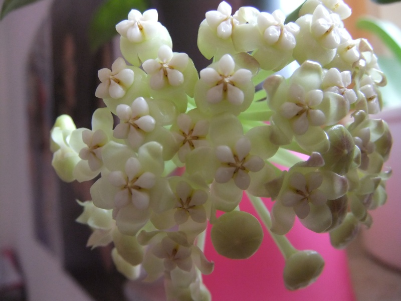 Hoya pachyclada  07310