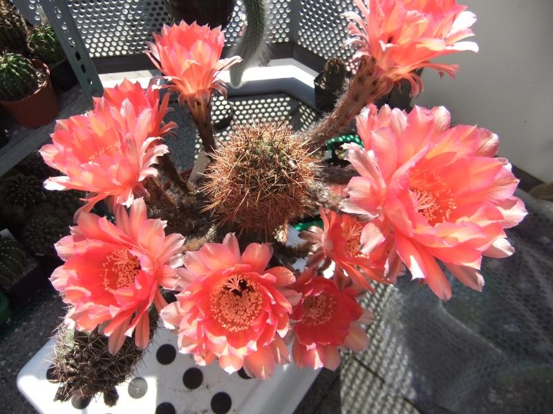 Meine Kakteenblüten 15110