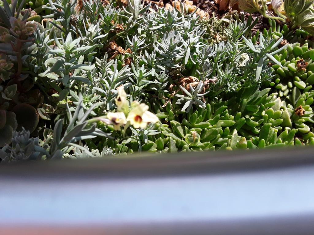Michis blinder Passagier - was für eine Pflanze ist das? - gelöst: Linaria aeruginea - Seite 3 20190717