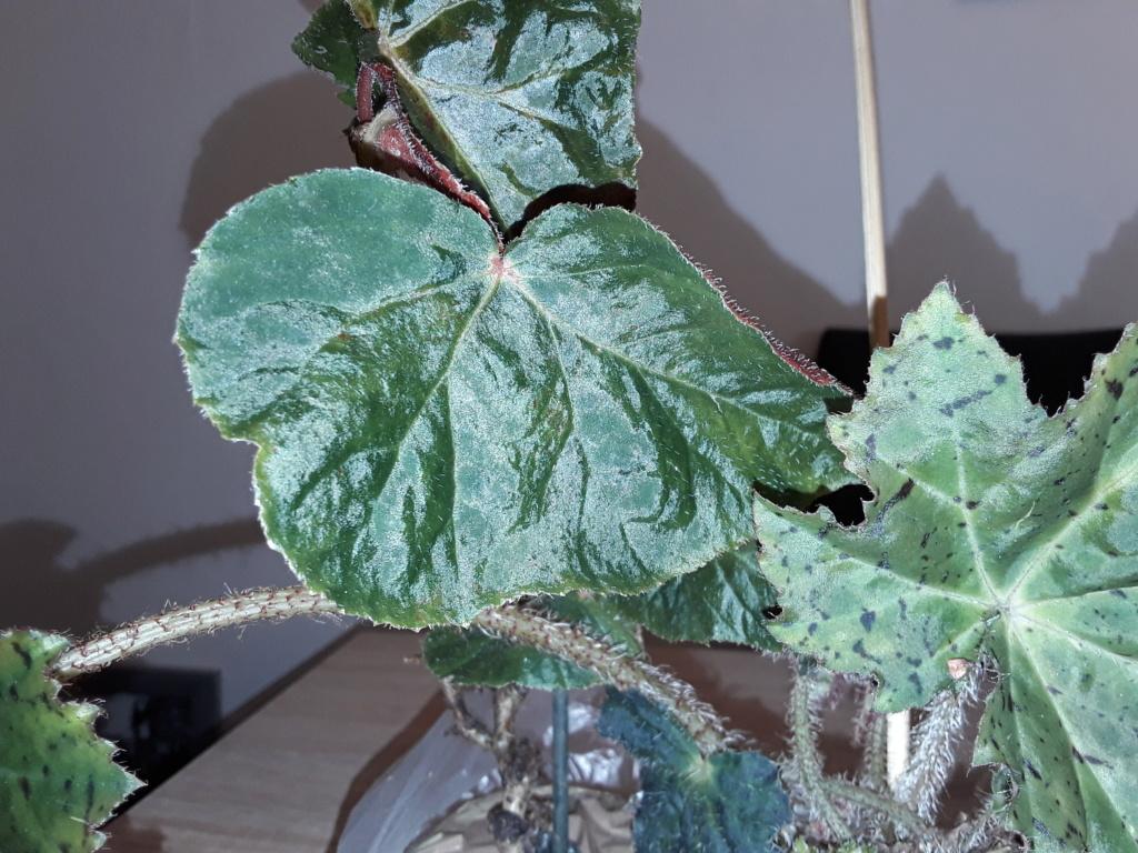 Begonia - Begonien - Seite 5 20200217