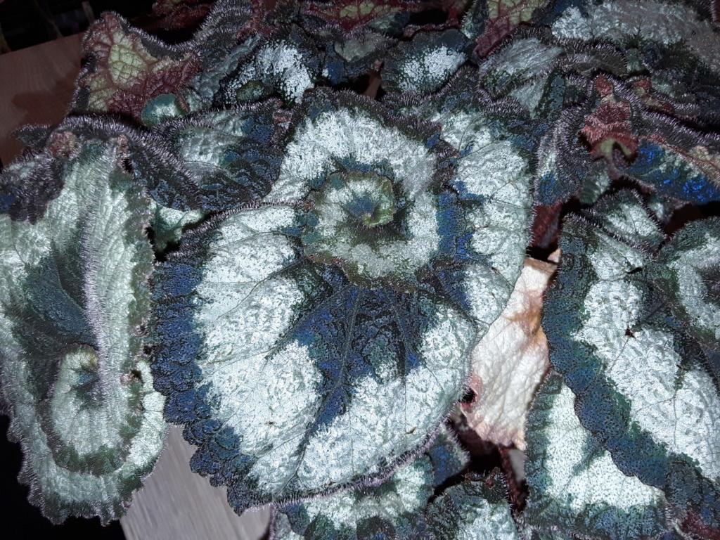 Begonia - Begonien - Seite 5 20200218