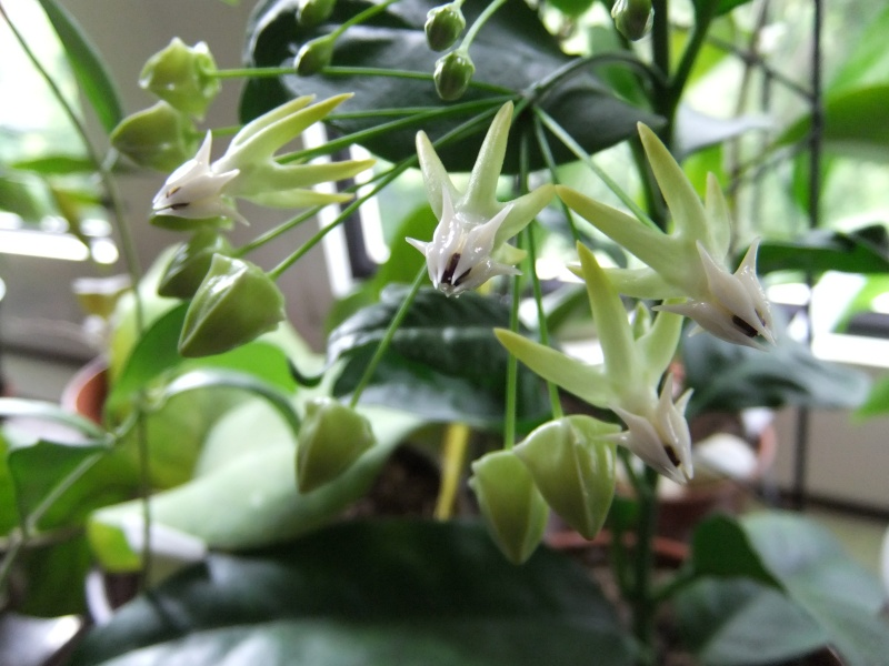 Hoya multiflora H_comp22