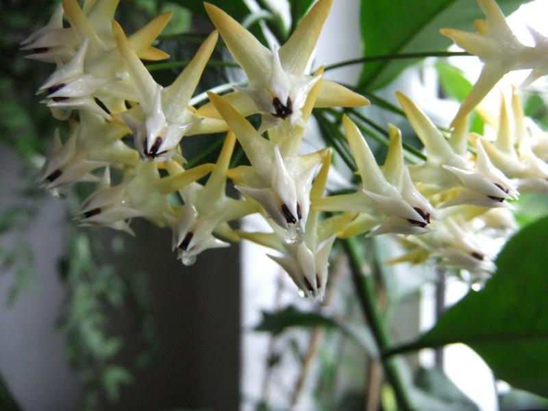 Hoya multiflora H_comp23
