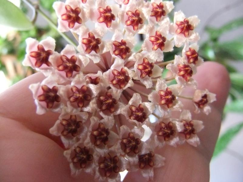 Hoya incurvula H_incu10
