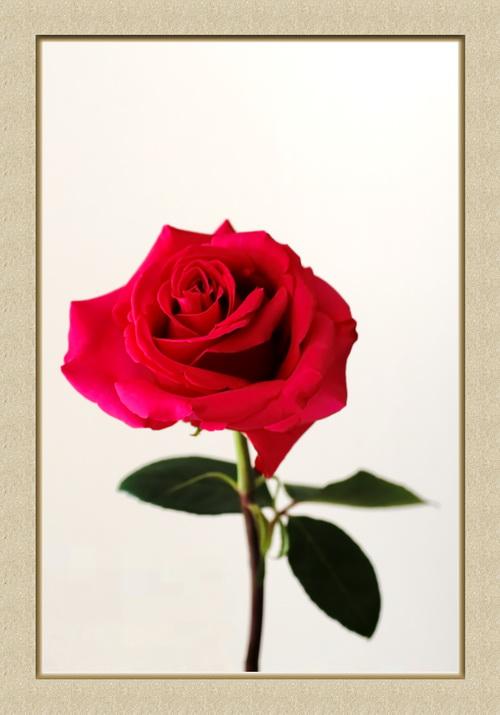 La reine des fleurs ? Rose3-13