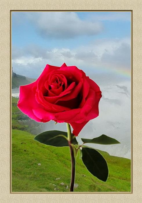 La reine des fleurs ? Rose3-14