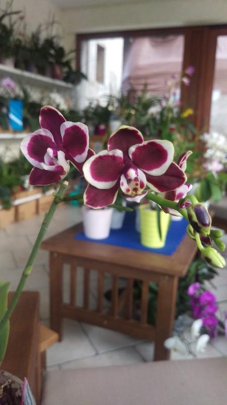 Phalaenopsis Brown Sugar Phal8310