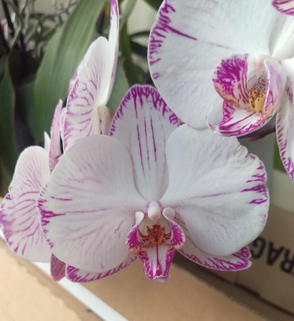 Phalaenopsis Minho Princess Phal_111